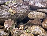 Jakobsweg (Camino Francés): Albergue y la bodeguiña de Mercadoiro – Buddha in einer Steinmauer - Mercadoiro