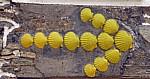 Jakobsweg (Camino Francés): Gelber Pfeil aus gelben Jakobsmuscheln - Leboreiro