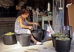 Jakobsweg (Caminho Português): Frau beim Sortieren von Weintrauben - Ponte Sampaio