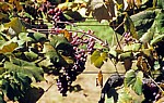 Jakobsweg (Caminho Português):  Zwischen Tivo und Caldas de Reis – Weinreben (Vitis vinifera) - Galicia