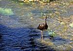 Jakobsweg (Caminho Português): Junger Schwarzstorch (Ciconia nigra) im Río Umia - Caldas de Reis