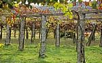 Jakobsweg (Caminho Português): Auf dem Weg nach O Pino - Weinreben (Vitis vinifera) - Galicia
