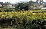 Jakobsweg (Caminho Português): Auf dem Weg nach O Pino - Weinberge - Galicia