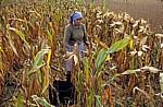 Jakobsweg (Caminho Português): Auf dem Weg nach O Pino – Bäuerin bei der Maisernte - Galicia