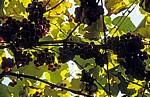 Jakobsweg (Caminho Português): Weinreben (Vitis vinifera) - Angueira de Suso