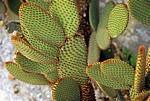 Jakobsweg (Camino a Fisterra): Kaktus (Opuntia rufida) - Ponte Maceira