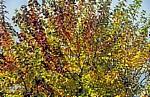 Jakobsweg (Camino Francés): Monte do Gozo – Verfärbte Ahornblätter (Acer) - San Marcos