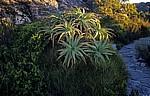 Tafelberg: Echte Aloen (Aloe vera) - Kapstadt