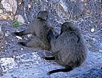 Bärenpaviane (Papio ursinus) - Cape of Good Hope Nature Reserve