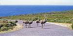 Afrikanische Sträuße (Struthio camelus) - Cape of Good Hope Nature Reserve