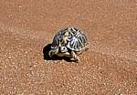 Nördliche Höcker-Landschildkröte (Psammobates tentorius verroxii) - Hardap