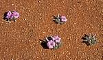 Blumen mit violetten Blüten auf der Staubpiste - Hardap