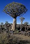 Köcherbaumwald: Köcherbäume (Aloe dichotoma) - Karas