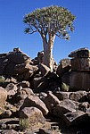 Spielplatz der Riesen: Köcherbaum (Aloe dichotoma) - Karas