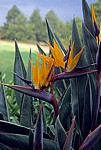 Union Buildings: Gärten – Paradiesvogelblumen (Strelitzia reginae)  - Pretoria
