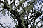 Bartflechten (Usnea) - Blyde River Canyon Nature Reserve