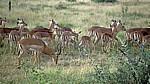 Impalas (Aepyceros melampus) - Kruger National Park