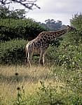 Kapgiraffe ( G. c. capensis camelopardalis giraffa) - Kruger National Park