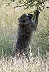 Bärenpavian (Papio ursinus) - Kruger National Park
