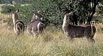 Ellipsen-Wasserböcke (Kobus ellipsiptymnus ellipsiprymnus) - Kruger National Park