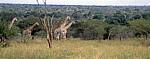 Kapgiraffe ( G. c. capensis camelopardalis giraffa) nähern sich zwei Geparden (Acinonyx jubatis) - Kruger National Park