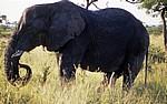 Afrikanischer Elefant (Loxodonta africana) - Kruger National Park