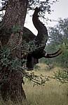 Afrikanischer Elefant (Loxodonta africana): Rüssel und Stoßzähne - Kruger National Park