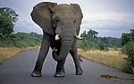 Afrikanischer Elefant (Loxodonta africana) auf der Straße - Kruger National Park