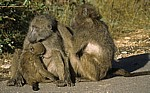 Bärenpaviane (Papio ursinus) - Kruger National Park