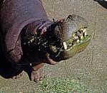 National Zoological Gardens: Flusspferd (Hippopotamus amphibius) - Pretoria
