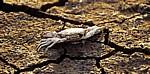 River Mersey: Tote Sandkrabbe (Necora puber) auf ausgetrocknetem Boden - Hale
