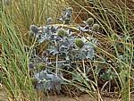 Stranddistel (Eryngium maritimum) - Talacre