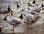 Lachmöwen (Larus ridibundus) - Bakewell