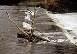 River Wye: Lachmöwen (Larus ridibundus) auf einem Wehr - Bakewell