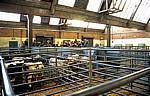 Derby Livestock Market: Kälberauktion - Derby