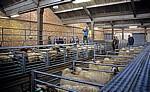 Derby Livestock Market: Schafauktion - Derby