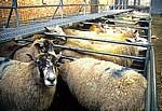 Derby Livestock Market: Schafe in Pferchen - Derby