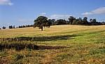 Baum auf einem Feld - Bearley