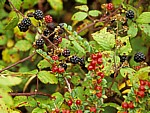 Brombeeren (Rubus sectio Rubus) - Conwy