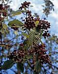 Österreichische Mehlbeere (Sorbus austriaca) - Frankfurt/Main