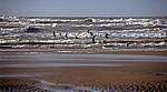 Formby Beach: Lachmöwen (Larus ridibundus) fliegen am Wasser  - Formby