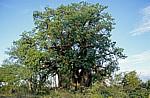 Planet Baobab: Baobab / Afrikanischer Affenbrotbaum (Adansonia digitata) - Gweta