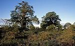 Planet Baobab: Baobabs / Afrikanische Affenbrotbäume (Adansonia digitata) - Gweta