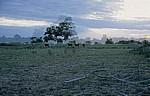 Planet Baobab: Rinder vor Baobab / Afrikanischem Affenbrotbaum (Adansonia digitata) - Gweta