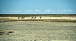 Ntwetwe Pan (Salzpfanne): Steppenzebras (Equus quagga) - Makgadikgadi-Pfannen
