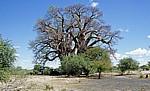 Chapman's Baobab (Affenbrotbaum, Adansonia digitata) - Makgadikgadi-Pfannen