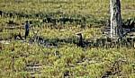Erdmännchen (Suricata suricatta) - Makgadikgadi-Pfannen