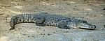 Krokodilfarm: Nilkrokodil (Crocodylus niloticus) - Otjiwarongo