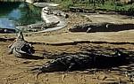 Krokodilfarm: Nilkrokodile (Crocodylus niloticus) - Otjiwarongo