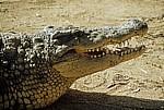 Krokodilfarm: Nilkrokodil (Crocodylus niloticus) mit geöffnetem Maul - Otjiwarongo